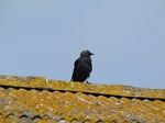 SX06896 Jackdaw (Corvus monedula) on farm shed roof.jpg